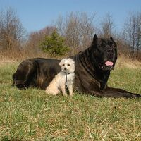 Giant Cane Corso Breed With Small Dog Friend