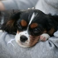 Saci The Tricolor Cavalier King Charles Spaniel Puppy 3months Old2